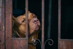 Καφετί σκυλί Pitbull πίσω από το σκουριασμένο κλουβί Στοκ Φωτογραφία