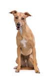 Καφετί σκυλί Podenco Στοκ εικόνες με δικαίωμα ελεύθερης χρήσης