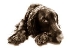καφετί σπανιέλ σκυλιών κό&kappa Στοκ Εικόνα