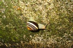 Καφετί σπειροειδές σαλιγκάρι κοχυλιών σε μια πέτρα λειχήνων Στοκ φωτογραφία με δικαίωμα ελεύθερης χρήσης