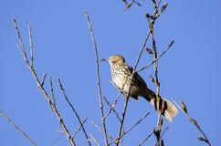 Καφετί τραγούδι πουλιών Thrasher σε ένα δέντρο, Γεωργία ΗΠΑ Στοκ Εικόνες