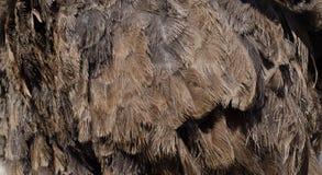 Καφετί υπόβαθρο φτερών στρουθοκαμήλων Στοκ εικόνες με δικαίωμα ελεύθερης χρήσης