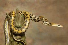 καφετί φίδι Ταϊβάν αρουραίω Στοκ Εικόνες