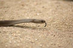 καφετί φίδι Στοκ φωτογραφίες με δικαίωμα ελεύθερης χρήσης