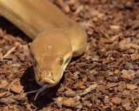Καφετί φίδι με την καρφωμένη με τη διχάλα γλώσσα στοκ εικόνες