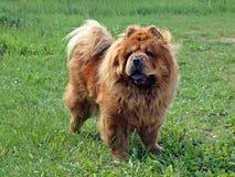 Καφετί φιλικό chow-chow σκυλί Στοκ εικόνα με δικαίωμα ελεύθερης χρήσης