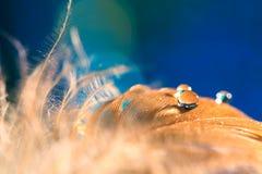 Καφετί φτερό σε ένα μπλε υπόβαθρο Πτώσεις σε ένα φτερό πουλιών ` s, αφηρημένη μακροεντολή Εκλεκτική εστίαση Στοκ Εικόνα