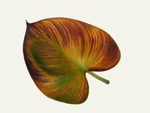 Καφετί φύλλο araceae Στοκ Φωτογραφίες