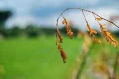Καφετί φύλλο θανάτου με το πράσινο υπόβαθρο τομέων ρυζιού Στοκ Φωτογραφίες