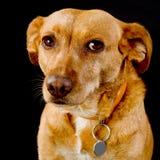 καφετί χαριτωμένο σκυλί Στοκ εικόνες με δικαίωμα ελεύθερης χρήσης