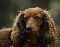 καφετί χαριτωμένο σκυλί Στοκ Εικόνες
