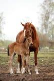 Καφετί χαριτωμένο foal πορτρέτο με τη μητέρα του Στοκ εικόνα με δικαίωμα ελεύθερης χρήσης