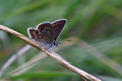 Καφετί Argus (agestis Aricia) σε στάση με τα φτερά ανοικτά Στοκ Εικόνες