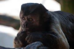 καφετί capuchin Στοκ φωτογραφίες με δικαίωμα ελεύθερης χρήσης