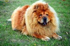 Καφετί chow chow σκυλί που ζει στην ευρωπαϊκή πόλη Στοκ Εικόνα