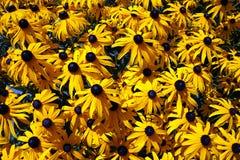 Καφετί Eyed Susans στο βοτανικό κήπο του Αλμάτι στοκ φωτογραφία