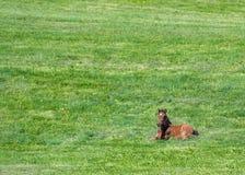 Καφετί Foal βάζει στον πράσινο τομέα Στοκ εικόνα με δικαίωμα ελεύθερης χρήσης