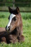 καφετί foal στοκ φωτογραφίες με δικαίωμα ελεύθερης χρήσης