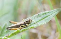 Καφετί grasshopper σε ένα φύλλο χλόης Στοκ Εικόνες
