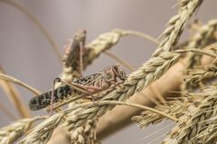 Καφετί grasshopper στη φύση, ακρίδα αποδημητικών πτηνών στοκ εικόνες