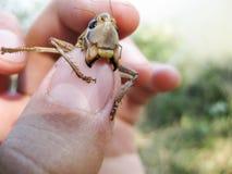 Καφετί grasshopper στις ανθρώπινες τσέπες τα σαγόνια grasshopper στοκ εικόνες