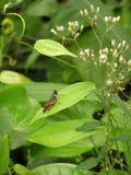 Καφετί Grasshopper στο πράσινο φύλλο στοκ εικόνες με δικαίωμα ελεύθερης χρήσης