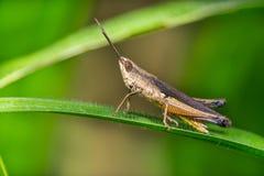 Καφετί grasshopper στο φύλλο χλόης Στοκ Φωτογραφίες