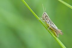 καφετί grasshopper Στοκ Εικόνες