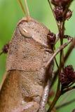Καφετί grasshopper Στοκ εικόνες με δικαίωμα ελεύθερης χρήσης