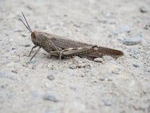 Καφετί grasshopper Στοκ φωτογραφία με δικαίωμα ελεύθερης χρήσης