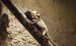 Καφετί Iguana στο άκρο στοκ φωτογραφία