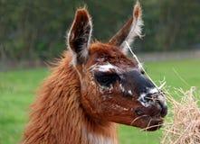 καφετί llama αλπάκα Στοκ Εικόνες