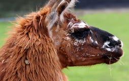 καφετί llama αλπάκα Στοκ Εικόνα