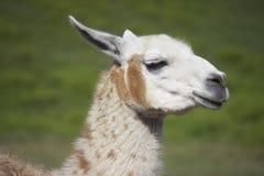 καφετί llama λευκό Στοκ εικόνα με δικαίωμα ελεύθερης χρήσης