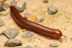Καφετί millipede Στοκ εικόνες με δικαίωμα ελεύθερης χρήσης