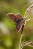 Καφετί Origanum πεταλούδων Argus vulgare Στοκ Φωτογραφία