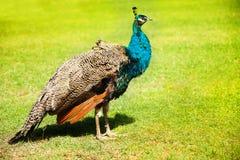 Καφετί peacock στοκ φωτογραφία με δικαίωμα ελεύθερης χρήσης