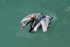 καφετί pelicanus πελεκάνων occidentalis Στοκ Φωτογραφίες