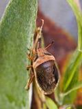 Καφετί Shieldbug στοκ φωτογραφίες
