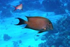 Καφετί surgeonfish Στοκ φωτογραφία με δικαίωμα ελεύθερης χρήσης