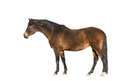 Καφετί warmblood άλογο, εξωτερικό, που απομονώνεται Στοκ Φωτογραφίες