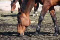 Καφετιά άλογα που τρώνε τη νέα χλόη Στοκ φωτογραφία με δικαίωμα ελεύθερης χρήσης