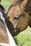 καφετιά άλογα Στοκ Φωτογραφίες