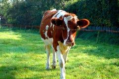 Καφετιά άσπρη αγελάδα στις Κάτω Χώρες Στοκ Φωτογραφία