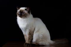 Καφετιά άσπρη γάτα με τα μπλε μάτια που φαίνονται μια πλευρά Στοκ εικόνα με δικαίωμα ελεύθερης χρήσης