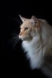 Καφετιά άσπρη γάτα που φαίνεται μια πλευρά Στοκ Εικόνες