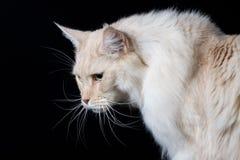 Καφετιά άσπρη μακρυμάλλης γάτα που κοιτάζει κάτω Στοκ Φωτογραφία