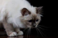 Καφετιά άσπρη μακρυμάλλης γάτα Στοκ Φωτογραφίες
