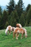 Καφετιά άλογα που τρώνε τη χλόη στο δάσος Στοκ Φωτογραφίες