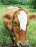 καφετιά αγελάδα λυπημένη Στοκ φωτογραφία με δικαίωμα ελεύθερης χρήσης